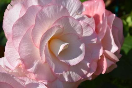 Begonia Ziggy