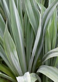 Beschoneria yuccoides 1