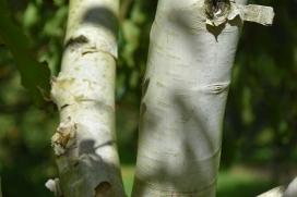Betula utilis var jacquemontii Grayswood Ghost (2)