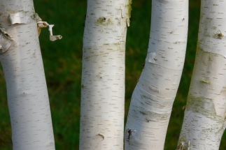Betula utilis var jacquemontii Inverleith