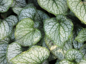 Brunner macrophylla Jack Frost 1
