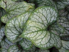 Brunner macrophylla Jack Frost