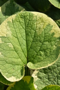 Brunnera Hadspen Cream 3