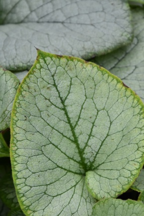 Brunnera macrocephala Looking Glass