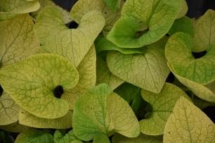 Brunnera macrophylla Diane's Gold