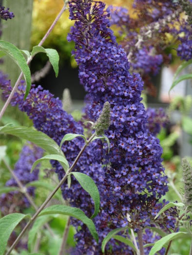 Buddleja davidii Blue Horizon