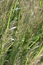 Calamagrostis brachystachys