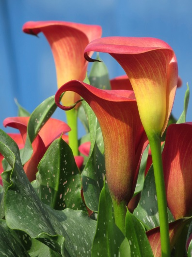 Calla Lily red blue blackground