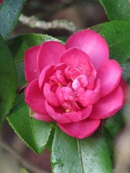 Camellia hiemalis Sparkling Burgundy