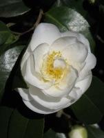 Camellia japonica Finlandia