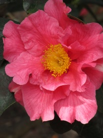 Camellia Milo Rowell