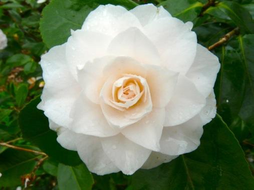 Camellia Miss Universe