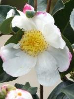 Camellia sansanqua Narumu Gaita