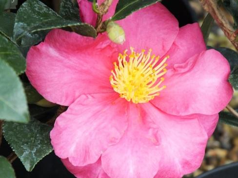 Camellia sasanqua Paradise Blush