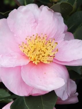 Camellia sasanqua Pink Goddess