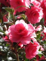 Camellia williamsii Charity 1