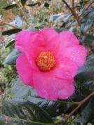 Camellia x williamsii Simon Bolitho