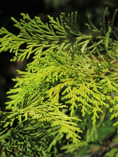 Chamaecyparis lawsoniana Howarths Gold
