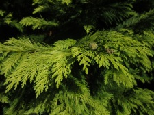 Chamaecyparis lawsoniana Lemon Queen