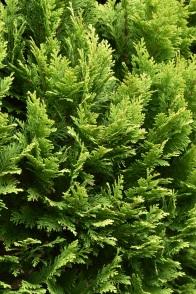 Chamaecyparis lawsoniana Minima Aurea