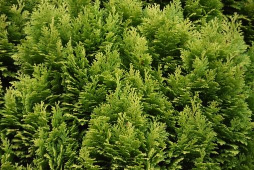 Chamaecyparis lawsonii Luteocompacta