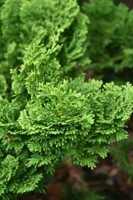 Chamaecyparis obtusa Nana Gracillis 2