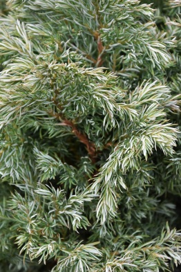 Chamaecyparis pisifera True Blue