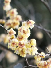 Chimonanthus praecox Grandiflorus