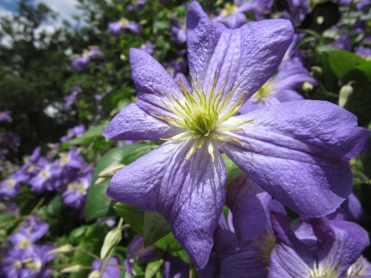 Clematis Jenny 1