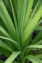 Cordyline Atlantic Green