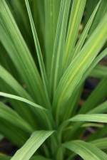 Cordyline Atlantic Green