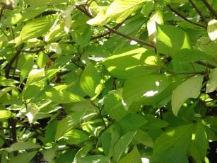 Cornus alba Aurea (2)