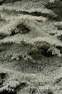 Cornus controversa variegata