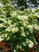 Cornus kousa John Slocock blossom