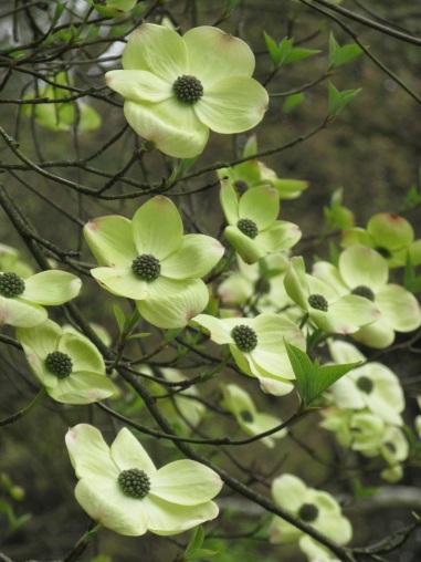 Cornus nuttallii x florida