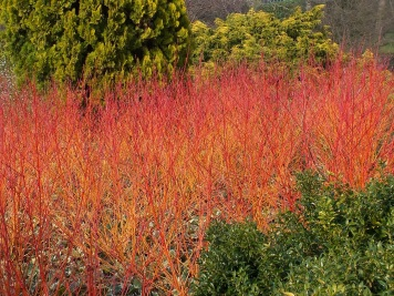 Cornus sanguinea Annys Winter Orange