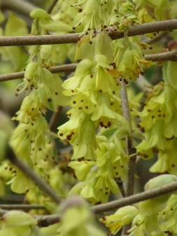 Corylopsis spicata 1