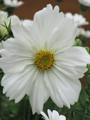 Cosmos White