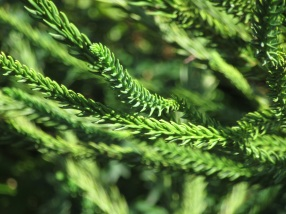 Cryptomeria japonica Araucarioides Group