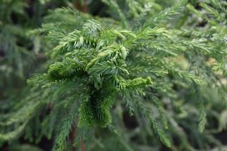 Cryptomeria japonica Cristata 1