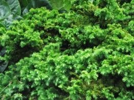 Cryptomeria japonica Lobbii Nana 1