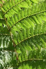 Cyathea brownii 1
