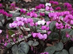 Cyclamen hederifolium (2)