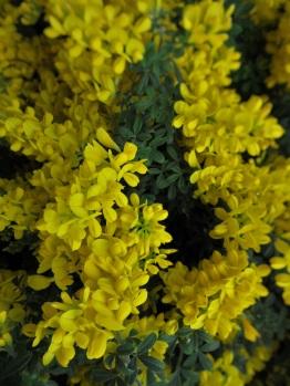 Cytissus Racemosus