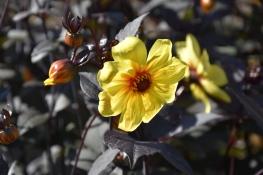 Dahlia Hadrian's Sunlight