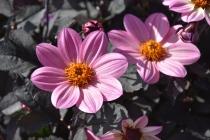 Dahlia Happy Days Pink (2)
