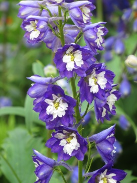 Delphinium Excalibur Dark Blue White Bee