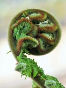 Dicksonia antarctica 1 (2)