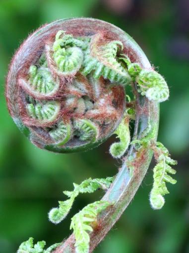 Dicksonia antarctica (3)