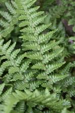 Dryopteris affinis Pinderi